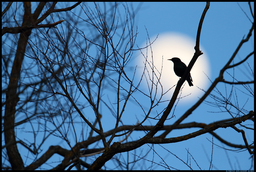 Kuldnokk, Starling, Sturnus vulgaris kuu õhtu evening night moon moonlight täiskuu Remo Savisaar Eesti loodus  Estonian Estonia Baltic nature wildlife photography photo blog loodusfotod loodusfoto looduspilt looduspildid
