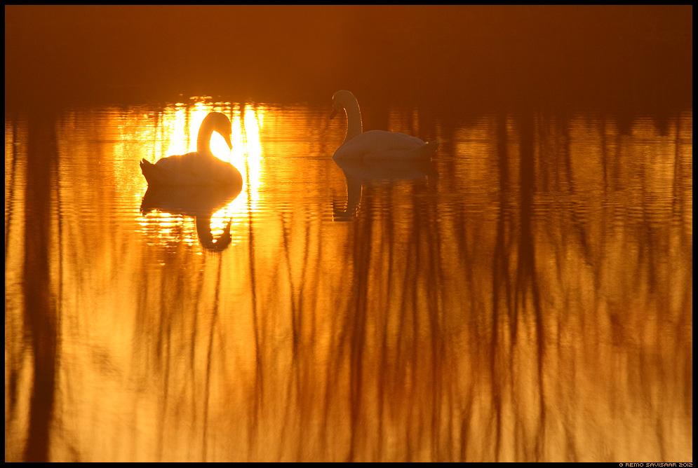 Kühmnokk-luik, Mute swan, Cygnus olor paar paarike a couple love päikeseloojang sunset Remo Savisaar Eesti loodus Estonian Estonia Baltic nature wildlife photography photo blog loodusfotod loodusfoto looduspilt looduspildid