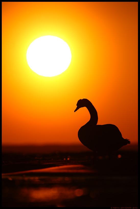 Päikesekummardaja, Sun worshipper, Kühmnokk-luik, Mute swan, Cygnus olor, päike, päikeseloojang, sunset, siluett, kontravalgus