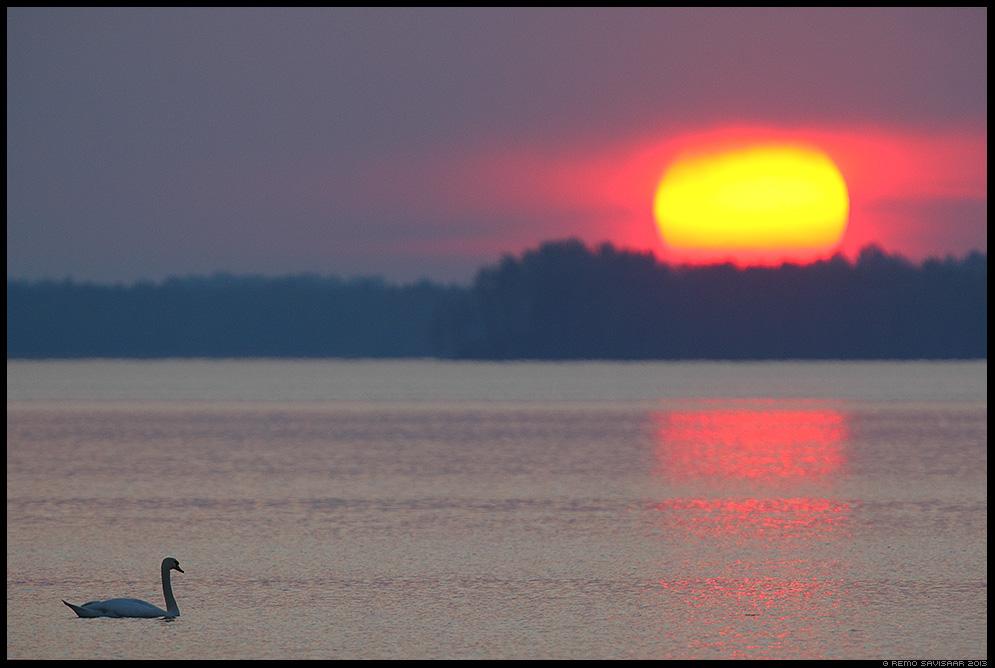 Kühmnokk-luik, Mute swan, Cygnus olor  Spring kevad lumi Remo Savisaar Eesti loodus Estonian Estonia Baltic nature wildlife photography photo blog loodusfotod loodusfoto looduspilt looduspildid