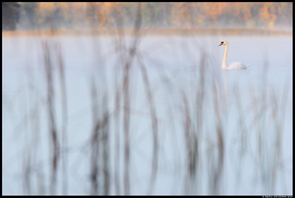 Kühmnokk-luik, Mute swan, Cygnus olor, sügis, järv, järvel, udu, udune