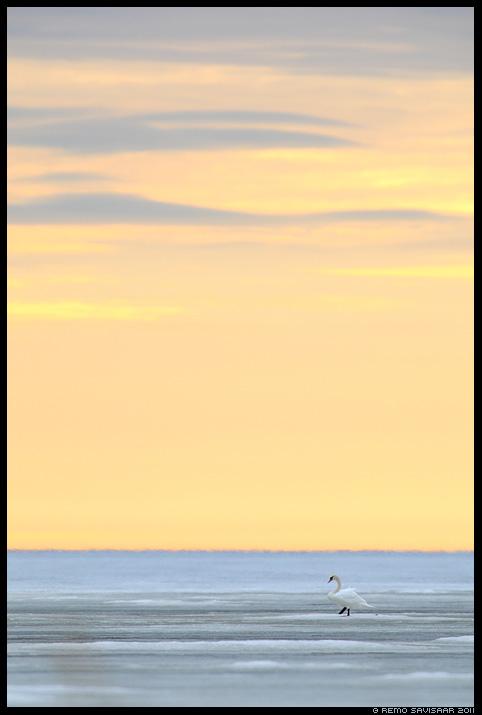 Kühmnokk-luik, Mute swan, Cygnus olor, meri, jää, loojang