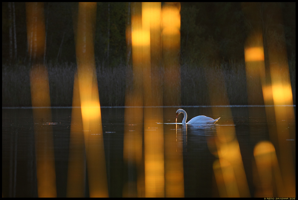 Kühmnokk-luik, Mute swan, Cygnus olor sügis autumn fall kuldne Remo Savisaar Eesti loodus  Estonian Estonia Baltic nature wildlife photography photo blog loodusfotod loodusfoto looduspilt looduspildid