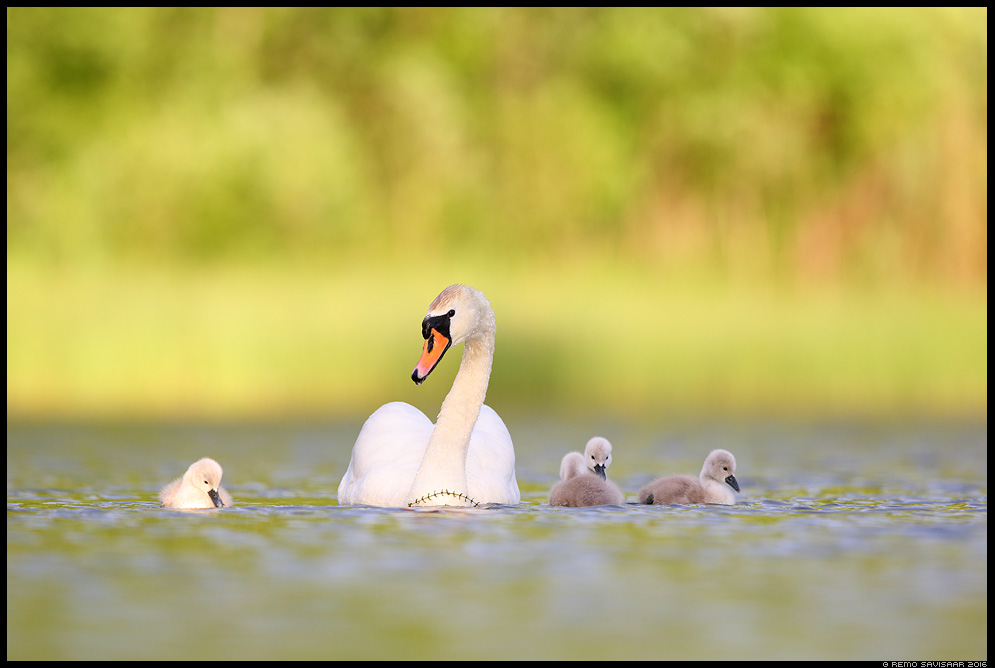 Kühmnokk-luik, Mute swan, Cygnus olor lapsed babies järglased spring kevad Remo Savisaar Eesti loodus  Estonian Estonia Baltic nature wildlife photography photo blog loodusfotod loodusfoto looduspilt looduspildid