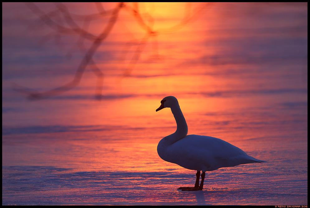 Kühmnokk-luik, Mute swan, Cygnus olor Remo Savisaar Eesti loodus  Estonian Estonia Baltic nature wildlife photography photo blog loodusfotod loodusfoto looduspilt looduspildid