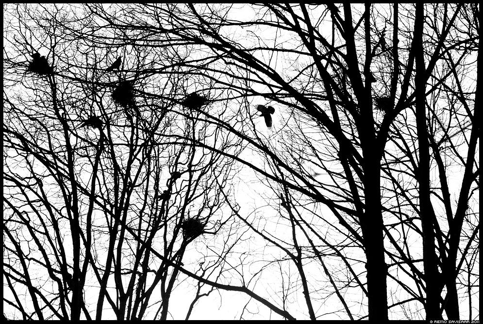 Künnivares, Rook, Corvus frugilegus, märts, kevad, graafika, graphic, bw, march, spring, siluett, silhouette