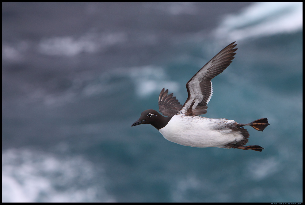 Lõunatirk, Common Guillemot, Uria aalge, island, iceland