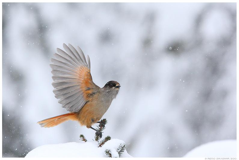 Laanenäär, Siberian Jay, Perisoreus infaustus