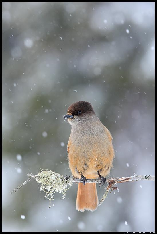 Laanenäär, Siberian Jay, Perisoreus infaustus Remo Savisaar nature wildlife photography photo blog loodusfotod loodusfoto looduspilt looduspildid
