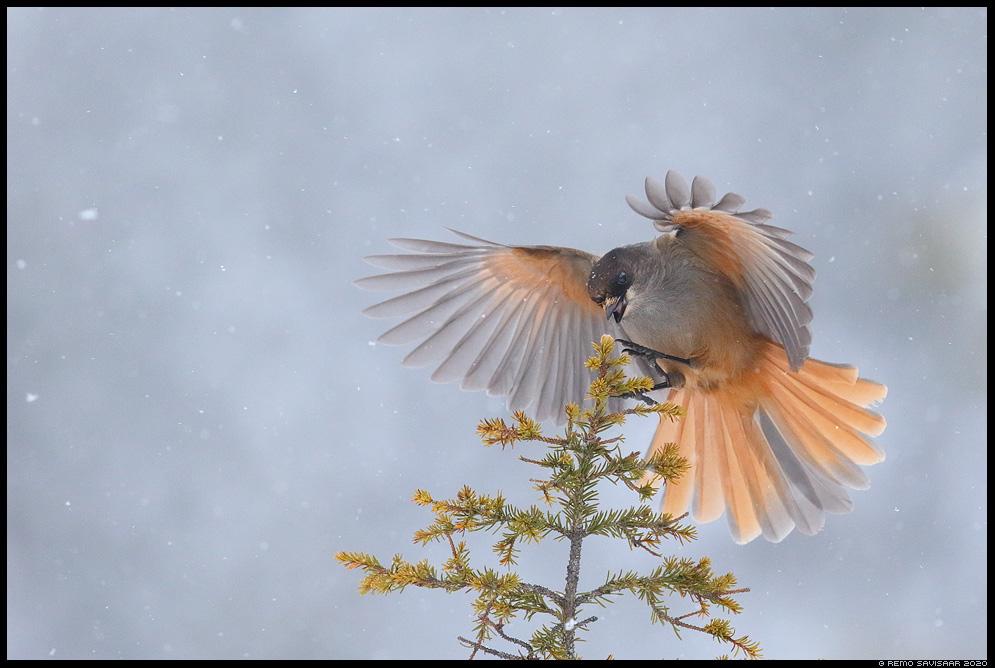 Laanenäär, Siberian Jay, Perisoreus infaustus  soome finland Remo Savisaar nature wildlife photography photo blog loodusfotod loodusfoto looduspilt looduspildid