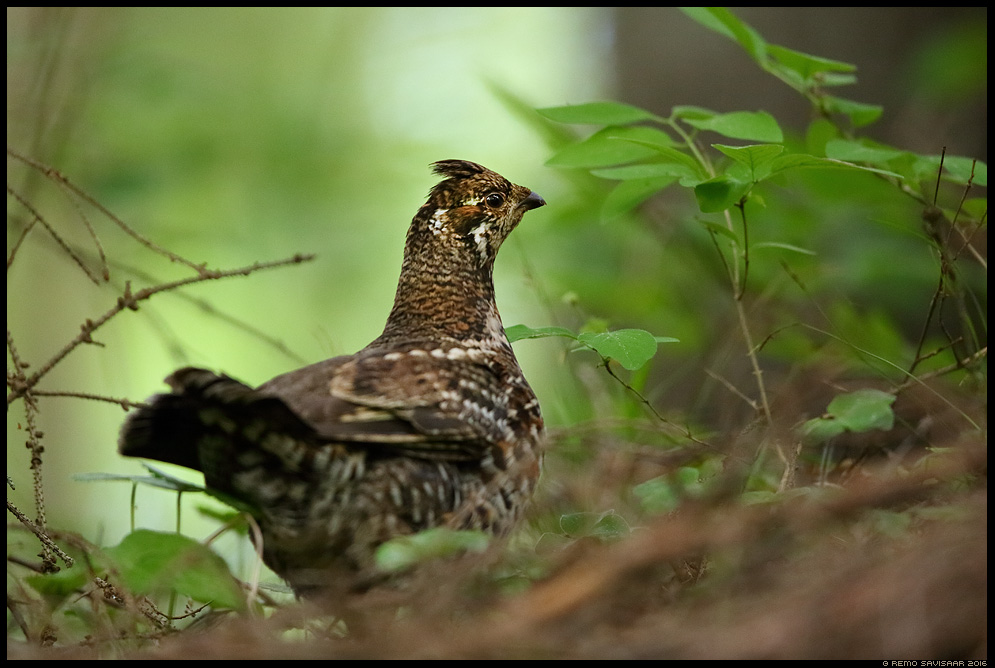 Laanepüü, Hazel Grouse, Bonasa bonasia Remo Savisaar Eesti loodus  Estonian Estonia Baltic nature wildlife photography photo blog loodusfotod loodusfoto looduspilt looduspildid