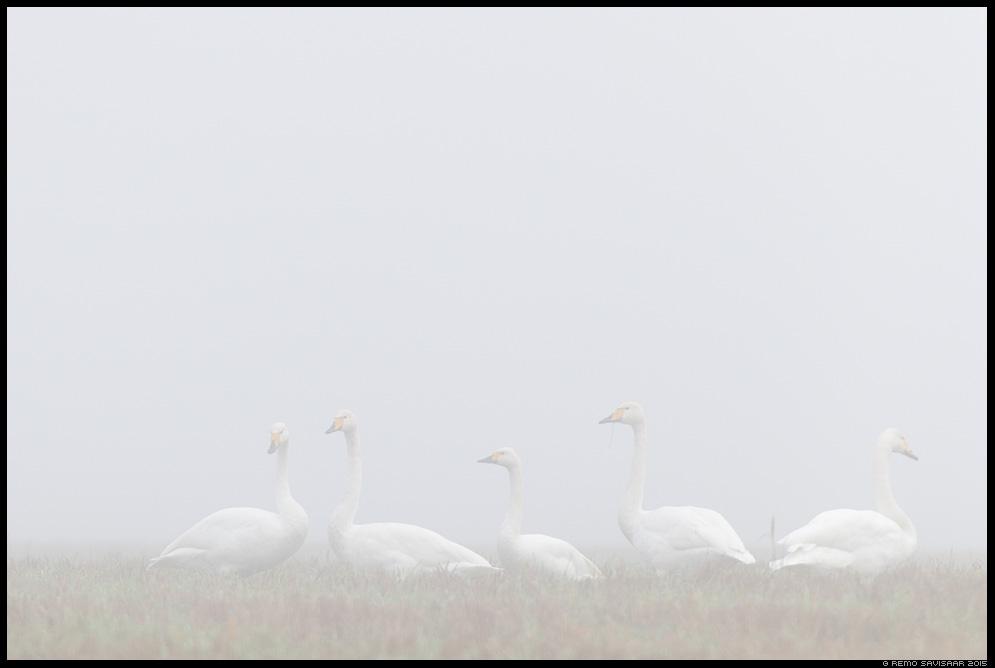 Laululuik Whooper Swan Cygnus cygnus Väikeluik Bewick's Swan Cygnus columbianus bewickii  Remo Savisaar Eesti loodus Estonian Estonia Baltic nature wildlife photography photo blog loodusfotod loodusfoto looduspilt looduspildid