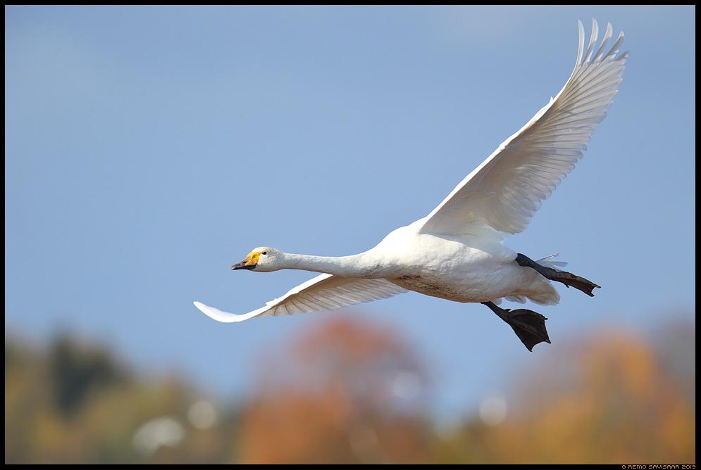Laululuik, Whooper Swan, Cygnus cygnus  Remo Savisaar Eesti loodus Estonian Estonia Baltic nature wildlife photography photo blog loodusfotod loodusfoto looduspilt looduspildid