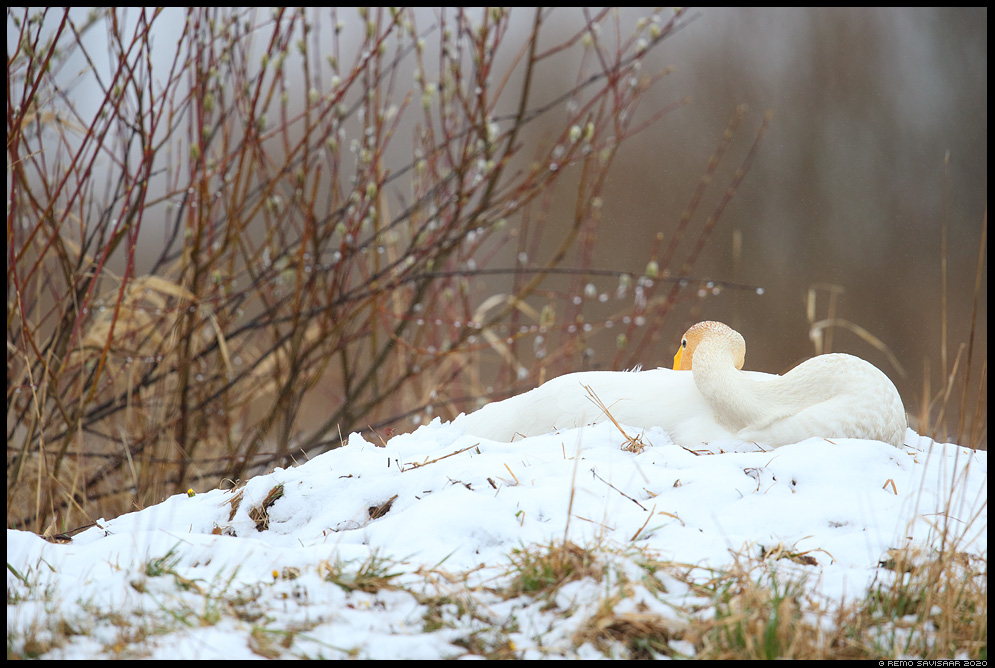 Laululuik, Whooper Swan, Cygnus cygnus pesa nest pesal nesting haudumas incubating Remo Savisaar Eesti loodus Estonian Estonia Baltic nature wildlife photography photo blog loodusfotod loodusfoto looduspilt looduspildid