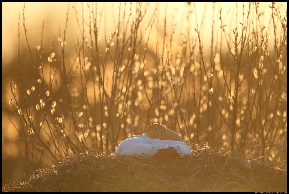 Laululuik, Whooper Swan, Cygnus cygnus haudumas nest nesting pesa Remo Savisaar Eesti loodus Estonian Estonia Baltic nature wildlife photography photo blog loodusfotod loodusfoto looduspilt looduspildid