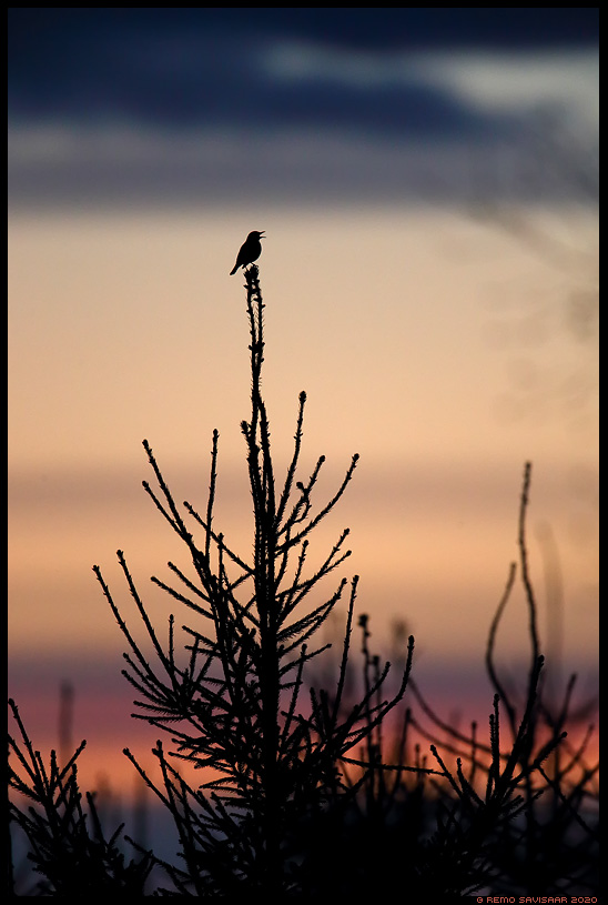 Laulurästas, Song Thrush, Turdus philomelos kuusk kuusik spruce fir Remo Savisaar Eesti loodus Estonian Estonia Baltic nature wildlife photography photo blog loodusfotod loodusfoto looduspilt looduspildid landscape nature wild wildlife nordic