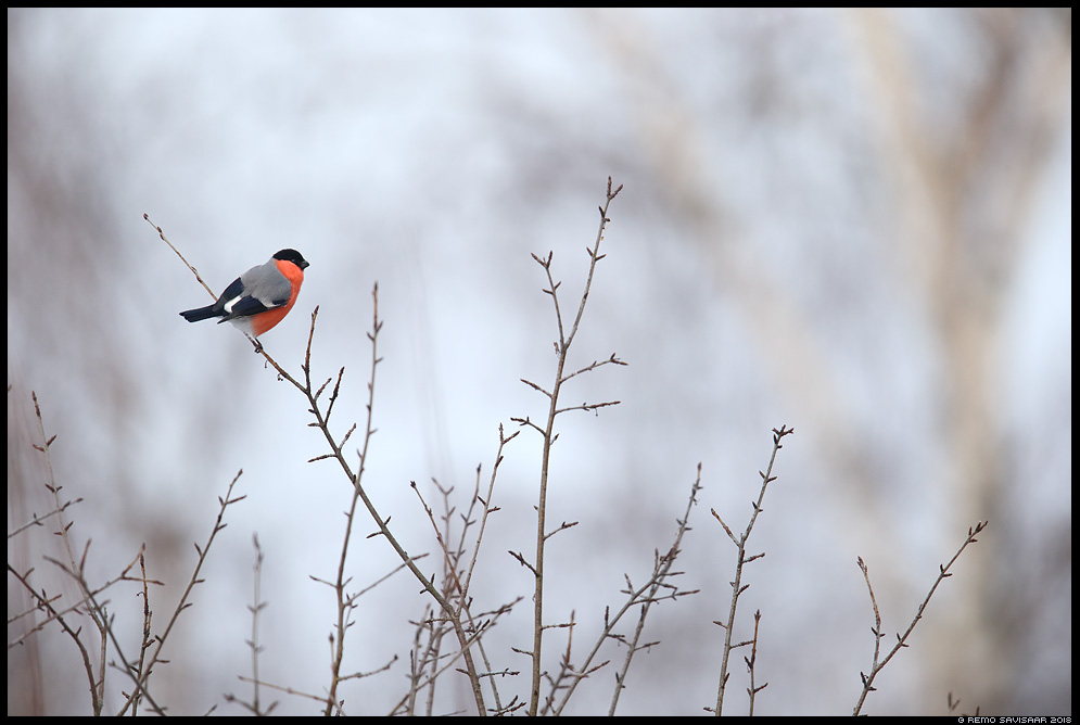 Leevike, Bullfinch, Pyrrhula pyrrhula  Remo Savisaar Eesti loodus  Estonian Estonia Baltic nature wildlife photography photo blog loodusfotod loodusfoto looduspilt looduspildid