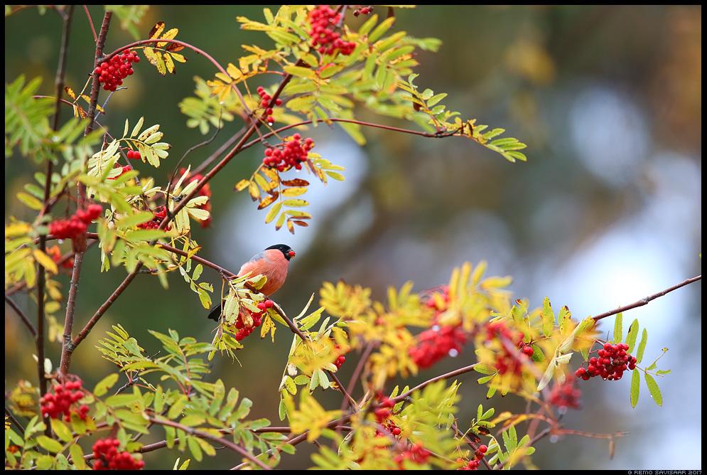 Leevike, Bullfinch, Pyrrhula pyrrhula Värvikas sügis, Colorful autumn pihlakas Remo Savisaar Eesti loodus Estonian Estonia Baltic nature wildlife photography photo blog loodusfotod loodusfoto looduspilt looduspildid