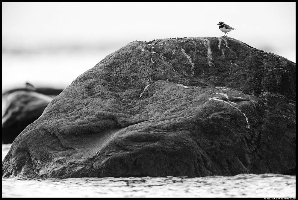 Rüüt, Golden Plover, Pluvialis apricaria mustvalge bw hiiumaa Remo Savisaar Eesti loodus Estonian Estonia Baltic nature wildlife photography photo blog loodusfotod loodusfoto looduspilt looduspildid landscape nature wild wildlife nordic