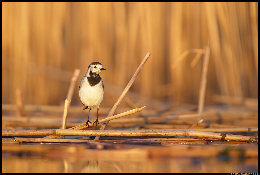 Linavästrik, Pied Wagtail, Motacilla alba  Remo Savisaar Eesti loodus  Estonian Estonia Baltic nature wildlife photography photo blog loodusfotod loodusfoto looduspilt looduspildid