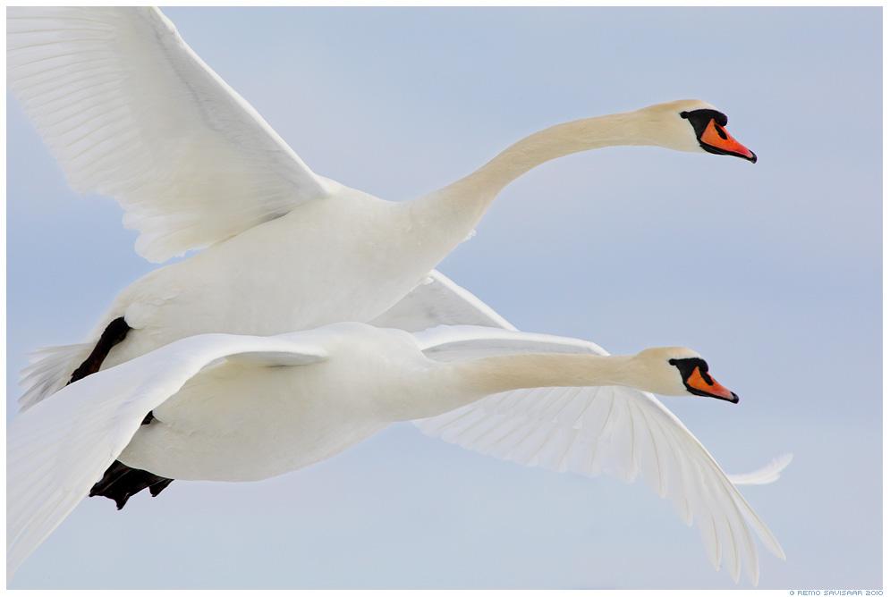 Kühmnokk-luik, Mute swan, Cygnus olor, Tandemlend