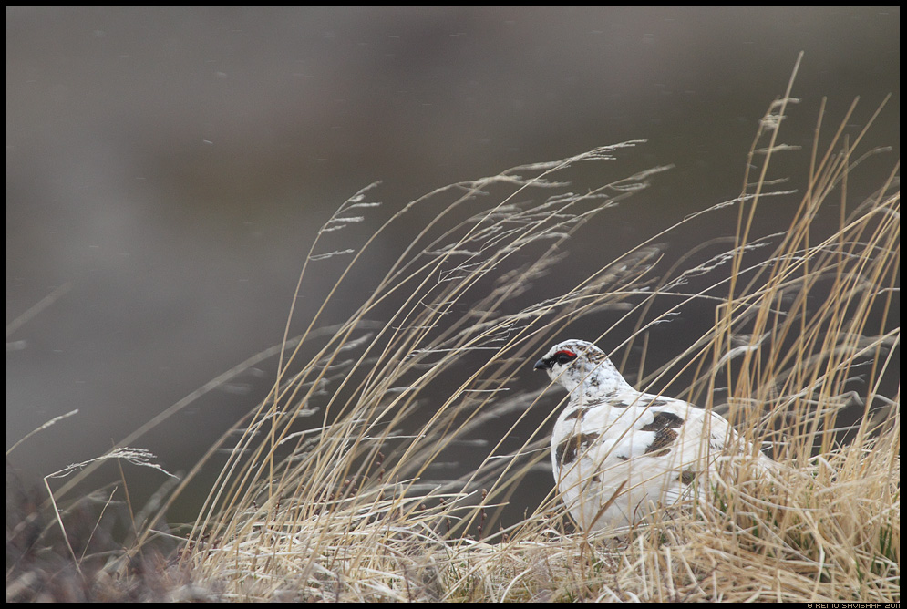 Lumep, Rock Ptarmigan, Lagopus muta, Lagopus mutus