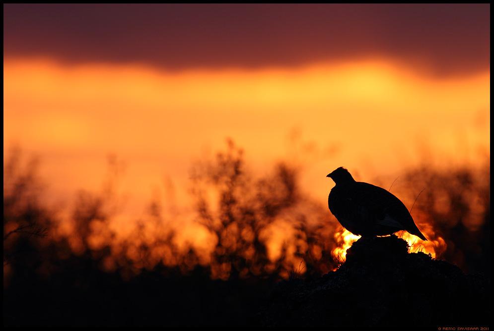 Lumepüü, Rock Ptarmigan, Lagopus muta, päikeseloojang, sunset, siluett, silhouette