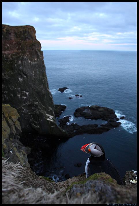 Island, Iceland, Põhjamaine papagoi, Lunn, Puffin, Fratercula arctica,  Látrabjarg Peninsula