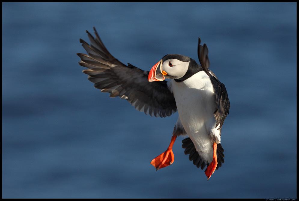 Island, Iceland, Põhjamaine papagoi, Lunn, Puffin, Fratercula arctica