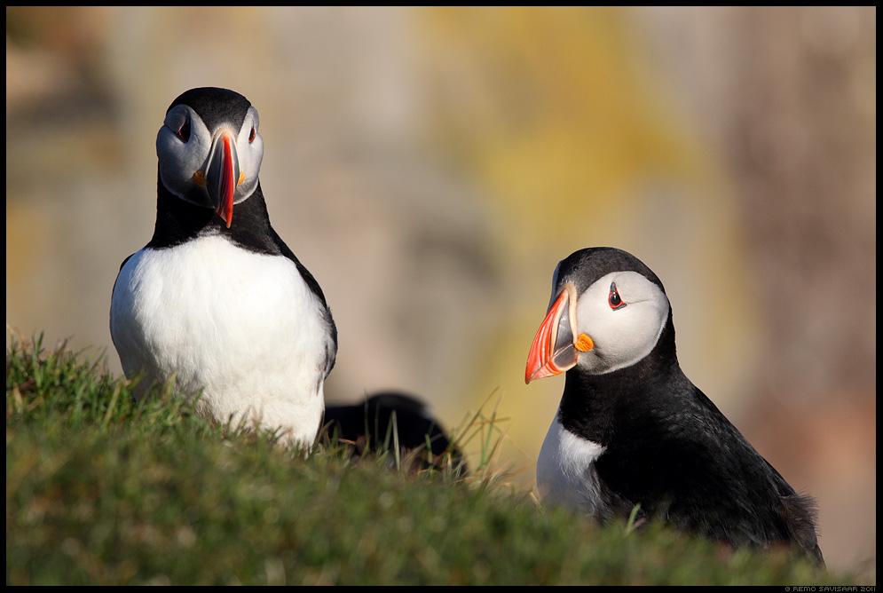 Island, Iceland, Põhjamaine papagoi - Lunn, Puffin, Fratercula arctica