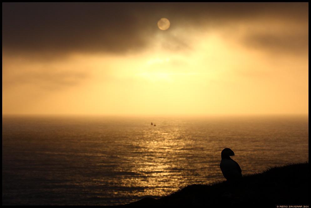 Island, Iceland, Lunn, Puffin, Fratercula arctica, päikeseloojang, sunset