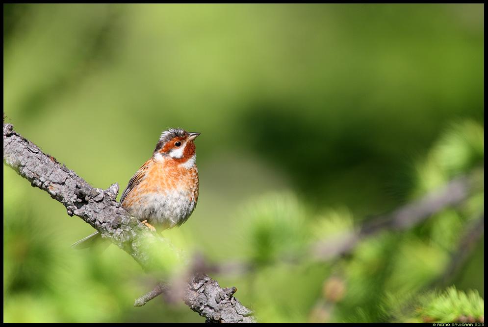 Männitalvike, Pine Bunting, Emberiza leucocephalos, Baikal, Siberia, Russia Remo Savisaar nature wildlife photography photo blog loodusfotod loodusfoto looduspilt looduspildid