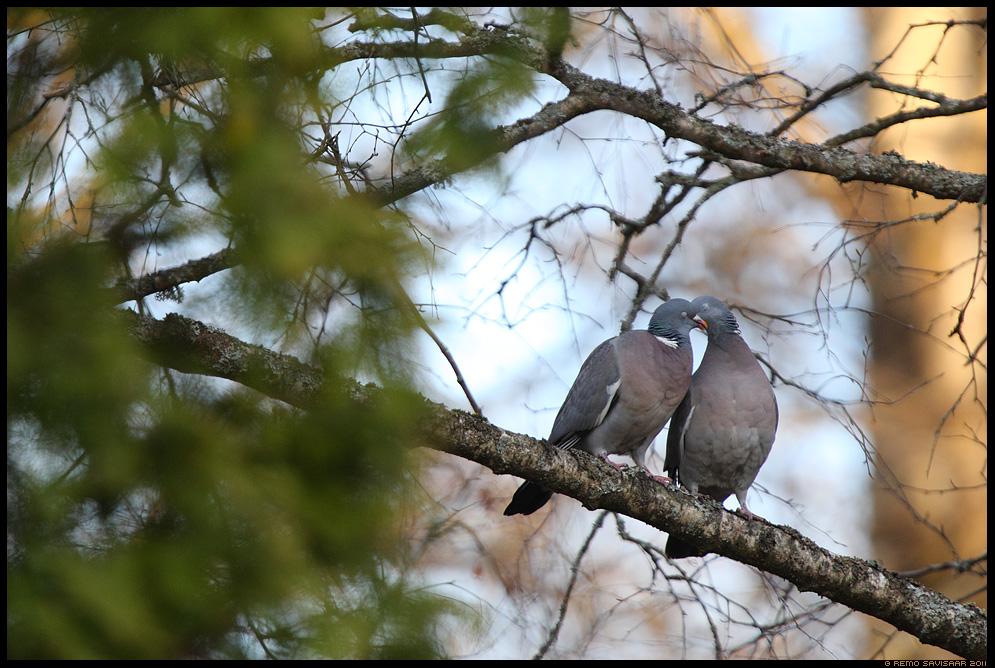 Kaelustuvi ehk meigas, Woodpigeon, Columba palumbus, kevad, armastus, suudlus, love, kiss, spring