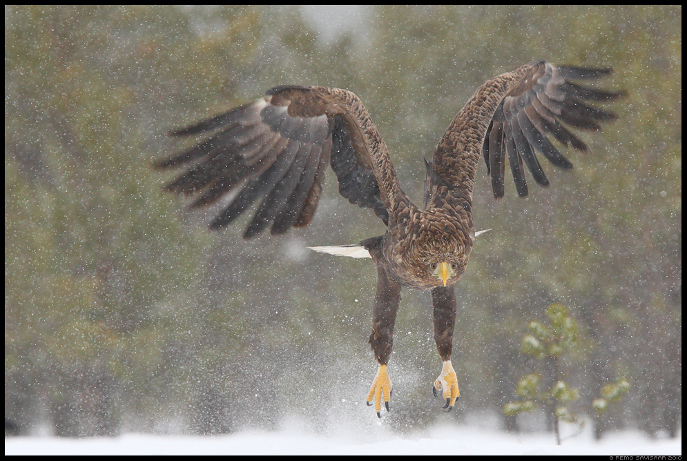 Merikotkas, White-tailed Eagle, Haliaeetus albicilla, talv, lumi, lumesadu, winter, snow, snowfall, raba, bog, rabamännid, bird of prey