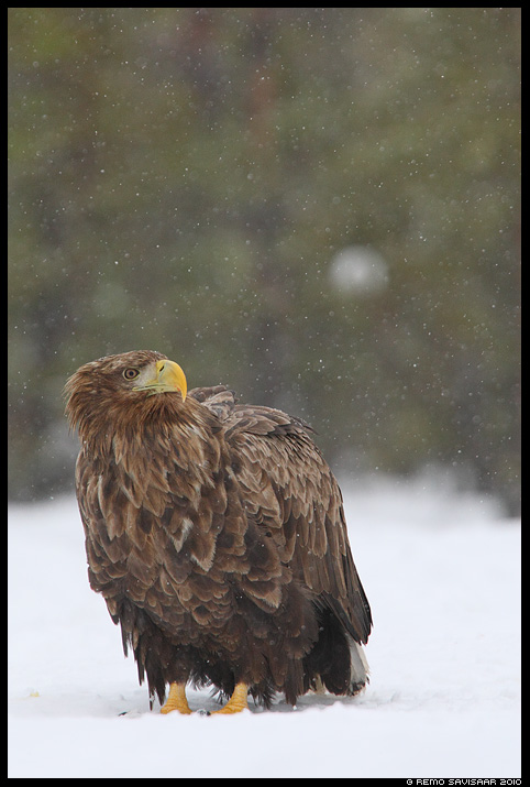 Merikotkas, White-tailed Eagle, Haliaeetus albicilla Remo Savisaar Eesti loodus  Estonian Estonia Baltic nature wildlife photography photo blog loodusfotod loodusfoto looduspilt looduspildid