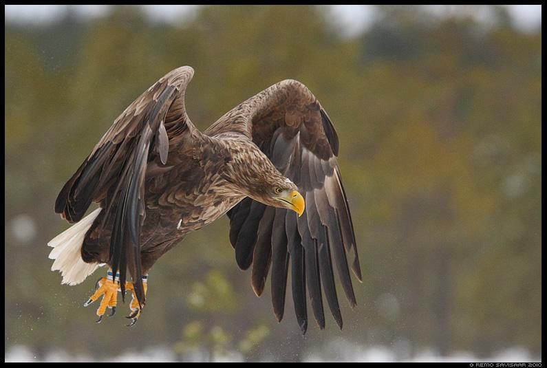 Merikotkas, White-tailed Eagle, Haliaeetus albicilla