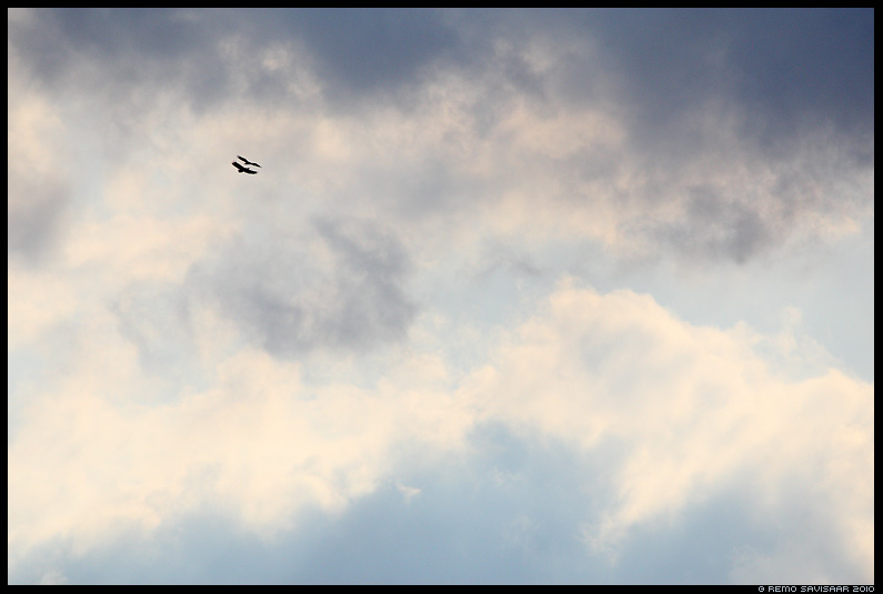 Merikotkas, White-tailed Eagle, Haliaeetus albicilla, pulmalend, mängulend