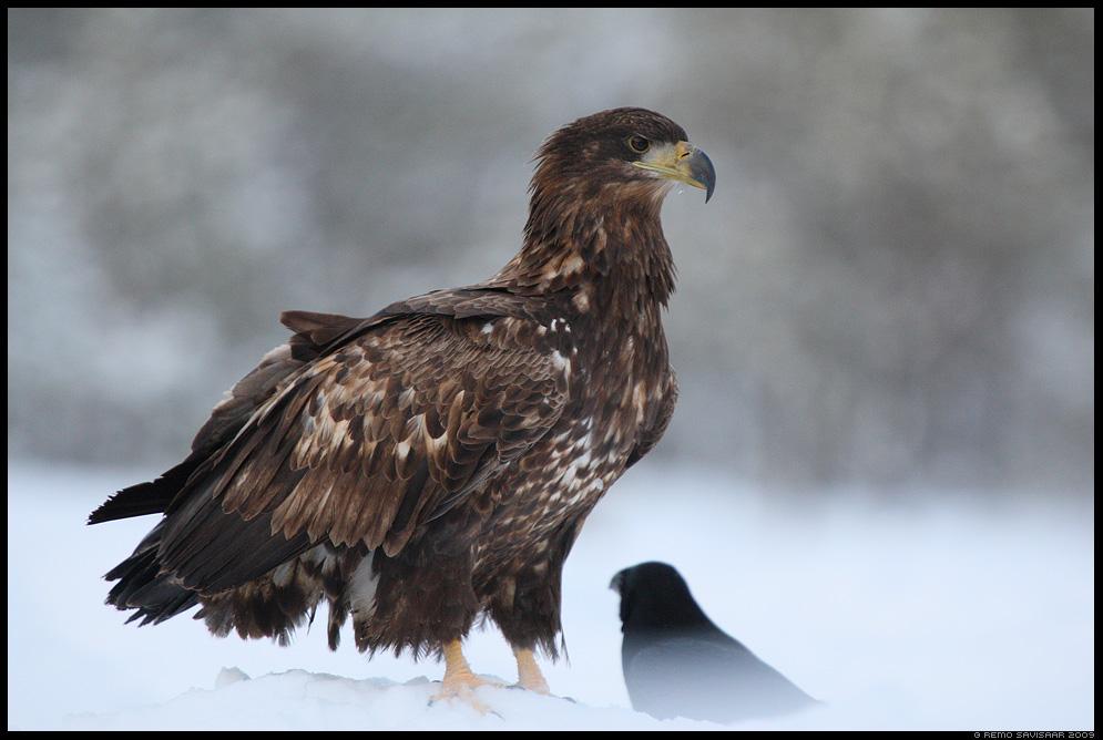 Merikotkas, White-tailed Eagle, Haliaeetus albicilla Remo Savisaar Eesti loodus  Estonian Estonia Baltic nature wildlife photography photo blog loodusfotod loodusfoto looduspilt looduspildid