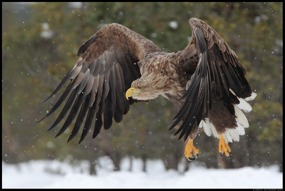 Merikotkas, White-tailed Eagle, Haliaeetus albicilla, talv, lumi, lumesadu, winter, snow, snowfall, raba, bog, rabamnnid, bird of prey 