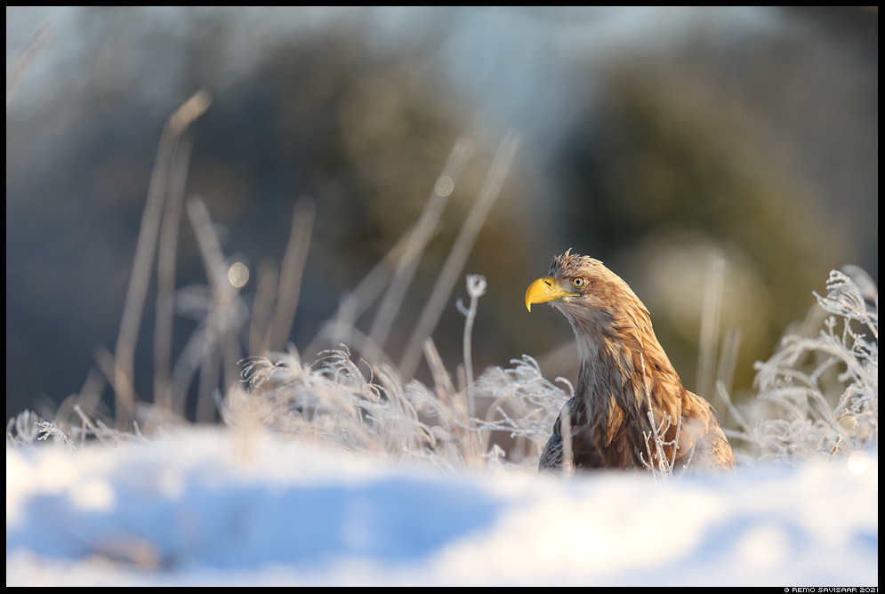 Merikotkas, White-tailed Eagle, Haliaeetus albicilla härmatis frosty Remo Savisaar Eesti loodus  Estonian Estonia Baltic nature wildlife photography photo blog loodusfotod loodusfoto looduspilt looduspildid