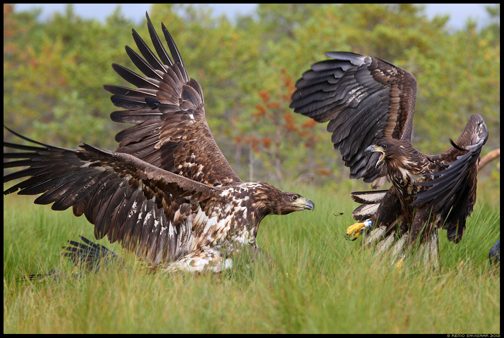 Kisma, Fight kaklus kaklemas fighting Merikotkas, White-tailed Eagle, Haliaeetus albicilla Remo Savisaar Eesti loodus Estonian Estonia Baltic nature wildlife photography photo blog loodusfotod loodusfoto looduspilt looduspildid 