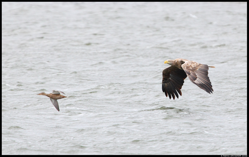 Tagaajamine, The Chase, Merikotkas, White-tailed Eagle, Haliaeetus albicilla Luitsnokk-part, Northern Shoveler, Anas clypeata Remo Savisaar Eesti loodus Estonian Estonia Baltic nature wildlife photography photo blog loodusfotod loodusfoto looduspilt looduspildid 