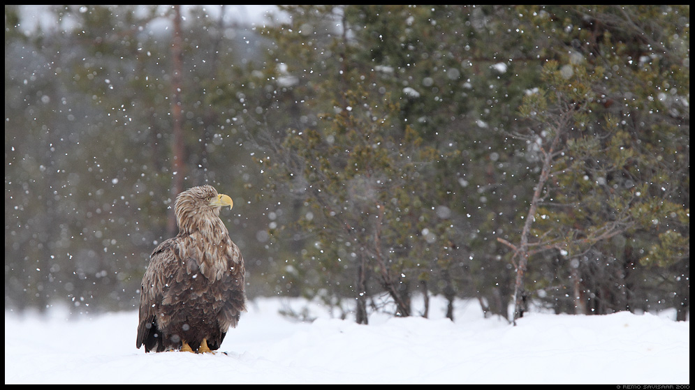 Merikotkas, White-tailed Eagle, Haliaeetus albicilla, lumesadu, snowfall