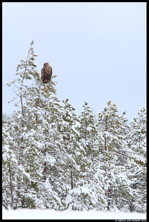 Merikotkas, White-tailed Eagle, Haliaeetus albicilla, rabamänd, rabamännid, raba