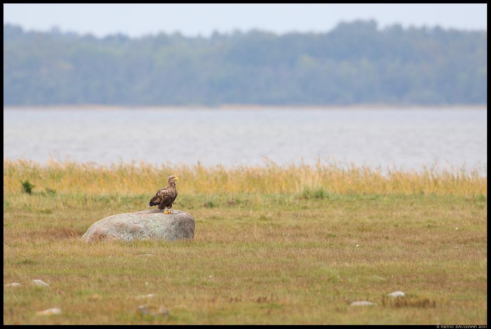 Merikotkas, White-tailed Eagle, Haliaeetus albicilla, matsalu, meri, lahesopp, laht