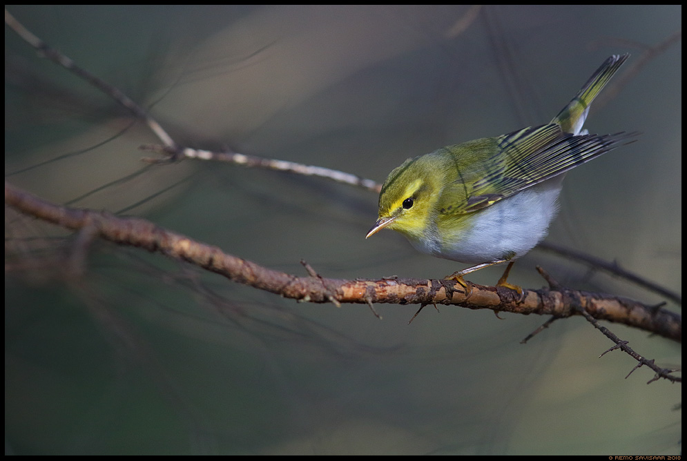 Mets-lehelind, Wood Warbler, Phylloscopus sibilatrix  Remo Savisaar Eesti loodus  Estonian Estonia Baltic nature wildlife photography photo blog loodusfotod loodusfoto looduspilt looduspildid