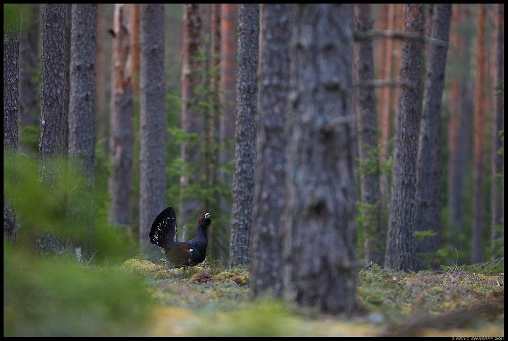 Metsis, Capercaillie, Tetrao urogallus, mai, männimets, pine forest, kevad, rohelus, spring, lek, lekking