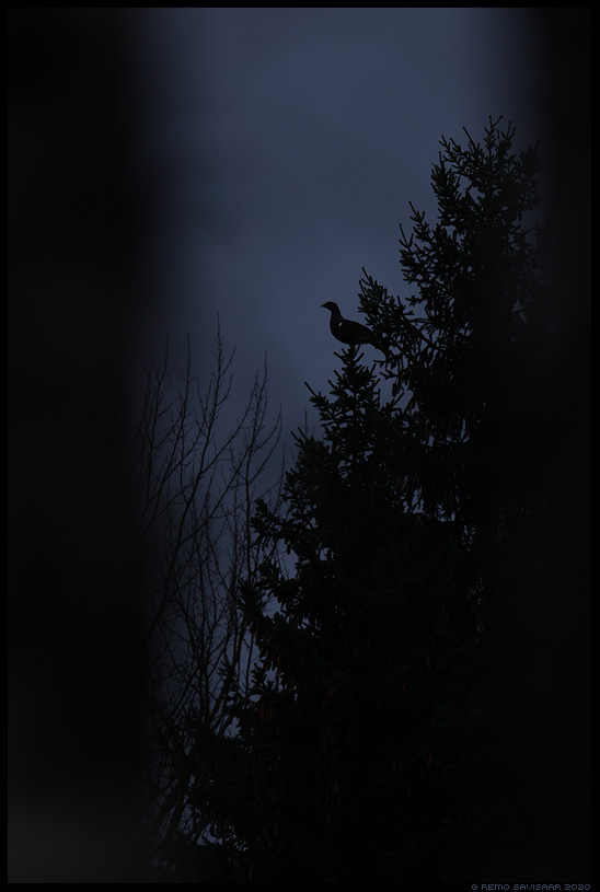 Metsis, Capercaillie, Tetrao urogallus Remo Savisaar Eesti loodus  Estonian Estonia Baltic nature wildlife photography photo blog loodusfotod loodusfoto looduspilt looduspildid