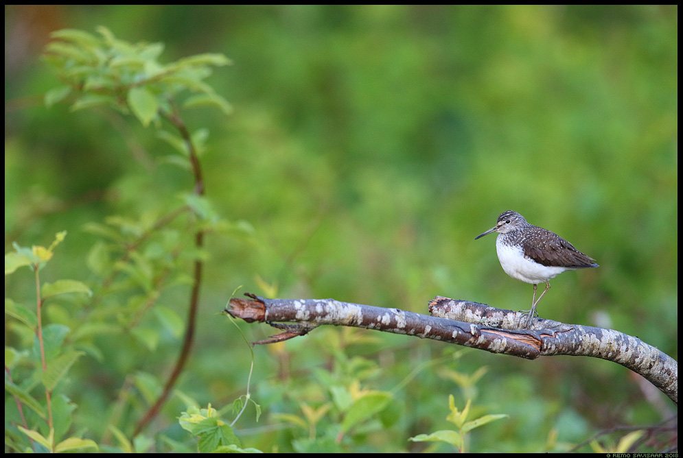 Metstilder, Green Sandpiper, Tringa ochropus Remo Savisaar Eesti loodus Estonian Estonia Baltic nature wildlife photography photo blog loodusfotod loodusfoto looduspilt looduspildid landscape nature wild wildlife nordic
