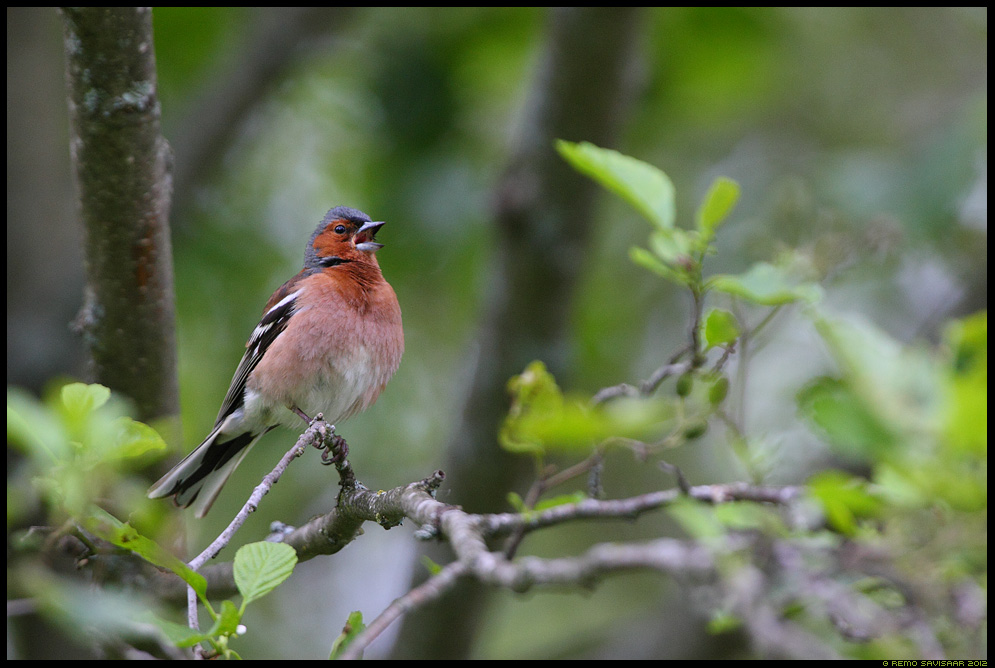 Metsvint, Chaffinch, Fringilla coelebs 